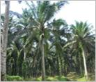 パームオイル農園